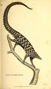Long-Tailed Manis from General zoology, or, Systematic natural history Part I, by Shaw, George, 1751-1813; Stephens, James Francis, 1792-1853; Heath, Charles, 1785-1848, engraver; Griffith, Mrs., engraver; Chappelow. Copperplate Printed in London in 1800. Probably the artists never saw a live specimen