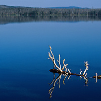 Driftwood, reflected in still water, glows in evening light, Yellowstone National Park, Wyoming