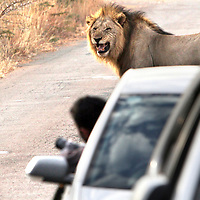 Just weeks after a woman was killed in her car by a lion in South Africa, a visitor to Pilanesberg National Park two hours drive from Johannesburg leans out of his vehicle to take a photo of a lion growling at him on June 25, 2015. The lion, who had been eating a gnu he had killed earlier that morning, went back to his meal without incident.