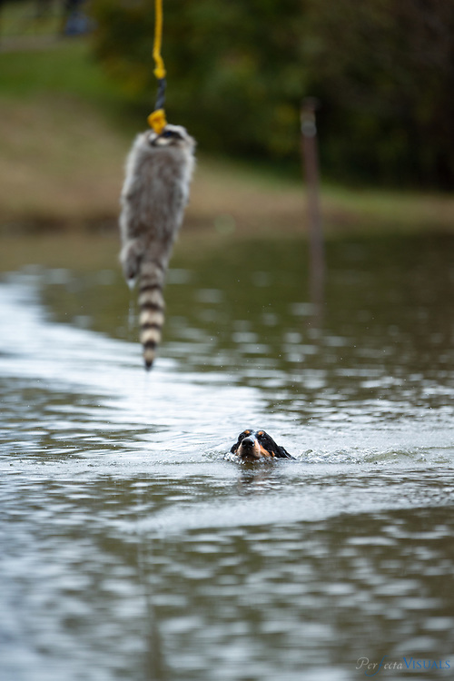 A raccoon hunting dog chases a raccoon pelt as it is pulled across the lake.<br /> <br /> <br /> For 46 years on the fourth Saturday of October, the Blue Ridge Folklife Festival has brought together a host of musicians, moonshiners, craftspeople, cooks, motorheads, mule jumpers, horse pullers, coon dog racers, antique tractor buffs, and old-time gamers for a celebration of the rich heritage and traditions of the region. The festival participants are the real thing, sharing folk traditions that have been a part of their families and/or communities for years. The Blue Ridge Folklife Festiva, held on the campus of Ferrum College, is the largest regional event of its kind in Virginia, featuring performers, artisans, foods, and activities not found at typical craft shows, fairs, and festivals. <br /> <br /> Photographed, Saturday, October 27, 2018, in Ferrum, Virginia. JERRY WOLFORD and SCOTT MUTHERSBAUGH / Perfecta Visuals