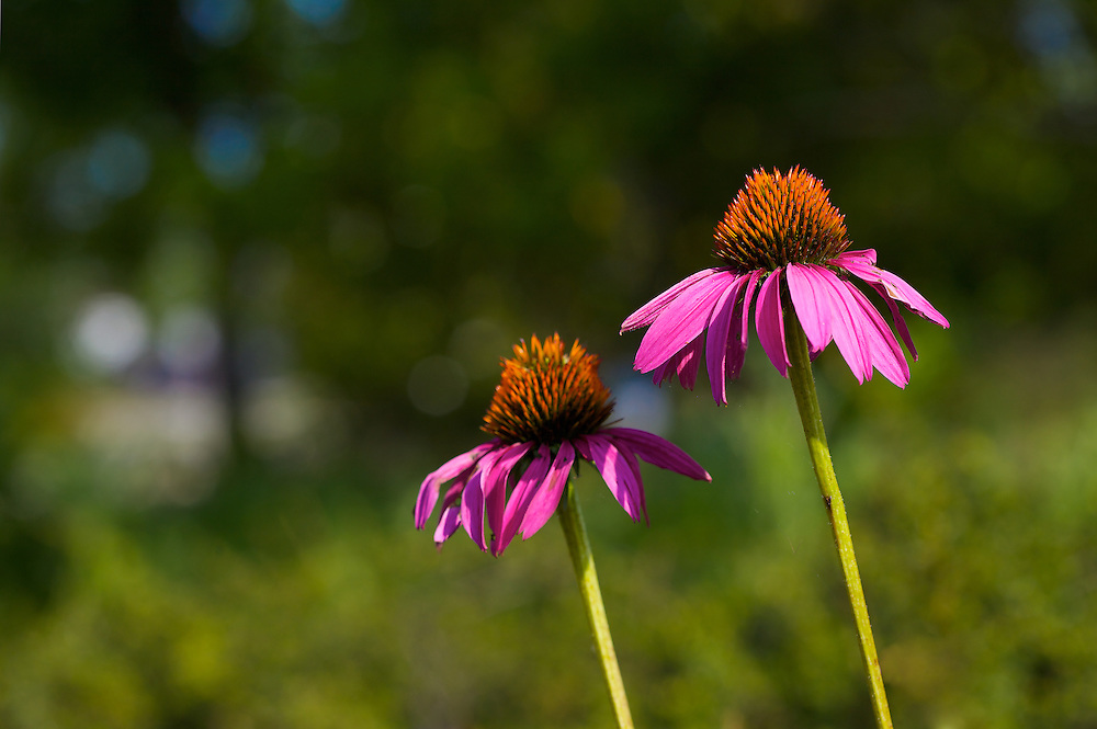 Coneflowers, a popular perennial, are a standout in pink in this summer garden.