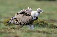 Griffon vulture; Gyps fulvus, El Ilempo; 2231 meters a.s.l., Canillo, Andorra