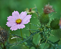 Cosmos flower. Image taken with a Fuji X-H1 camera and 80 mm f/2.8 OIS macro lens