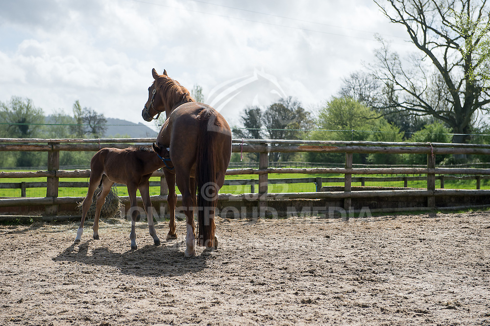 A foal feeds from its mother - Crickhowell, Powys, United Kingdom - April 2014