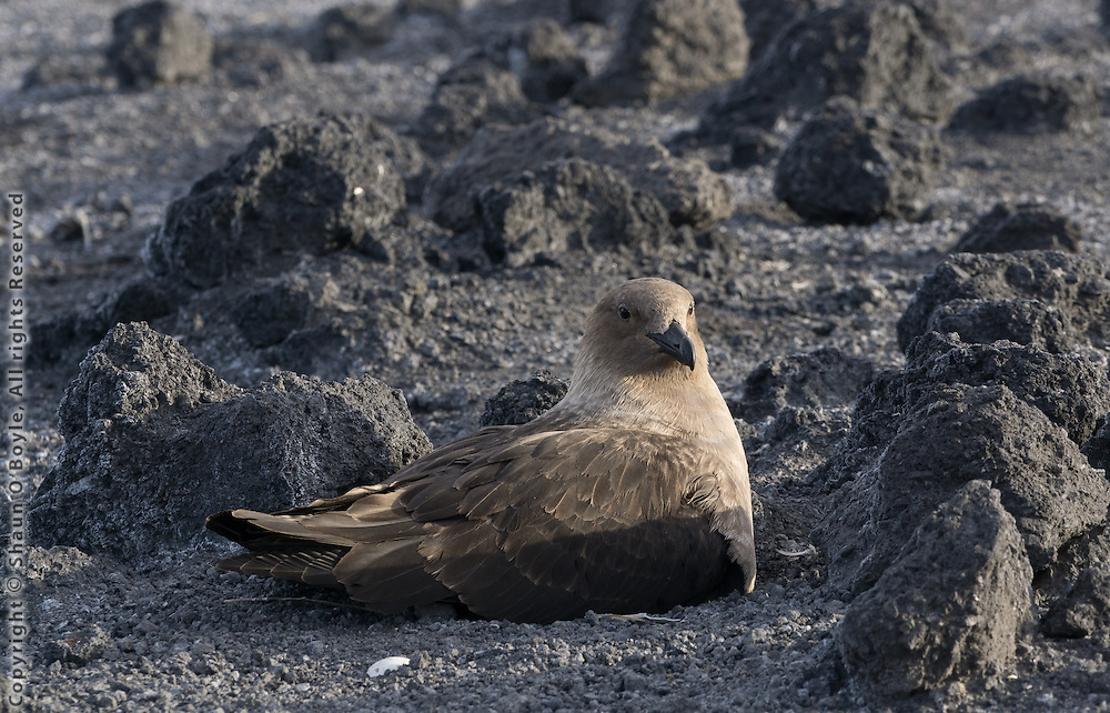 Skua, a large and very aggressive bird that preys on the penguin colony. This guy dive bombed me when I inadvertently walked too close their nest. Trust me, you do not want to get pecked with that beak.