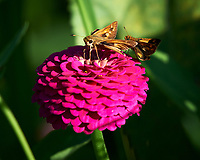 Pair of Skipper (?) butterflies on a Zinnia flower. Image taken with a Nikon Df camera and 100-500 mm f/5.6 VR lens