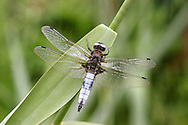 Scarce Chaser - Libellula fulva<br /> male