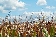 View of a tasseled corn field against a cloudy, blue sky in Missouri.