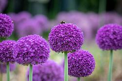 Allium 'Ambassador' with bumblebee