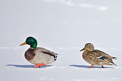 Mallards, a pair of mallards getting an early start to spring