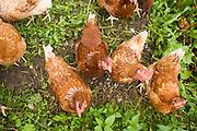 02 AUGUST 2007 -- INTERLAKEN, BERN, SWITZERLAND: Chickens peck at seeds in the grass in Murren, a small village in the Swiss Alps in the canton of Bern, Switzerland.  PHOTO BY JACK KURTZ