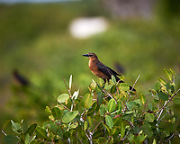 Boat-tailed Grackle. Black Point Wildlife Drive, Merritt Island National Wildlife Refuge. Image taken with a Nikon Df camera and 300 mm f/4 lens (ISO 450, 300 mm, f/4, 1/1250 sec).