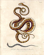 Coluber The viper Bitis and Cobra de Monile Handcolored copperplate engraving From the Encyclopaedia Londinensis or, Universal dictionary of arts, sciences, and literature; Volume IV;  Edited by Wilkes, John. Published in London in 1810