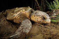 In summer nights the egg-bearing female Loggerhead Sea Turtles (Caretta caretta) crawl up the suitable beaches of the Lykian Coast in Turkey in search of a safe spot to dig a nest and bury approx. 100 eggs in the warm sand.