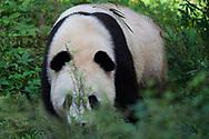 Giant Panda Bear, Ailuropoda melanoleuca, captive, walking towards us in bush, Shaanxi, China