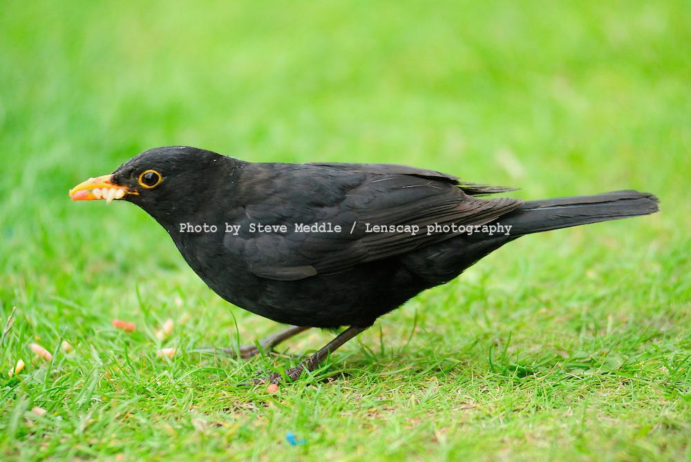 Common Blackbird Eating Maggots - Aug 2009
