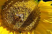 Nederland, Wekerom, 10-9-2015 Zonnebloem met bij. Sunflower with bee. FOTO: FLIP FRANSSEN/ HH