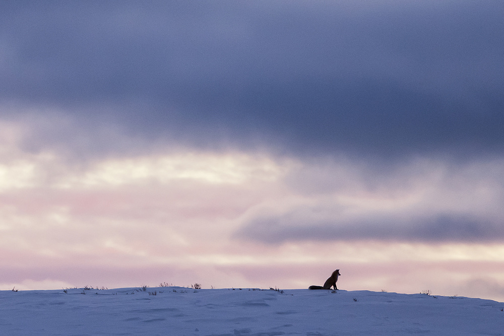 A red fox sits on a hill at day's end.