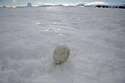 Emperor Penguin, Aptenodytes forsteri, egg at Snow Hills island, Antarctic Peninsula