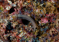 Little Combtooth Blenny, Ecsenius minutus, Klausewitz, 1963, Maldives