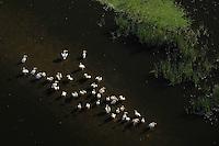 White pelicans, Pelecanus onocrotalus, Aerials over the Danube delta rewilding area, Romania