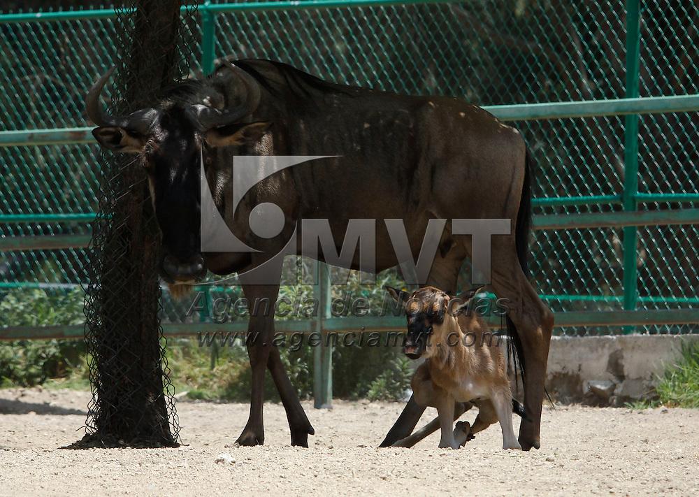 Calimaya, México.- En el Zoológico de Zacango  hay nuevos inquilinos, de febrero a junio de este año se han registrado 15 nacimientos, entre ellos un hipopótamo del Nilo,  lémures cola anillada, un mono Rhesus, un antílope ñu, un papión sagrado y un antílope dik dik, esto como parte del Programa de Reproducción de Especies Amenazadas o en Peligro de Extinción. Agencia MVT / Crisanta Espinosa