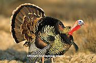 """00845-05109 """"Rio Grande"""" Wild Turkey (Meleagris gallopavo) male/gobbler strutting,  Starr Co.  TX"""