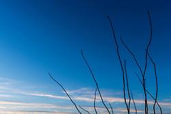 Ocotillo, Big Bend National Park, Texas, USA.