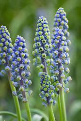 Muscari armeniacum 'Saffier' AGM. Grape hyacinth