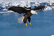 Bald Eagle, Haliaeetus leucocephalus, flying, landing, Kenai Peninsula, Homer Spit, Homer, Alaska. Digital original, #2006_0653 ©Robin Brandt