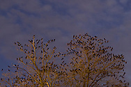 Middletown, New York - Thousands of crows gather in the trees at twilight on  Nov. 9, 2014.