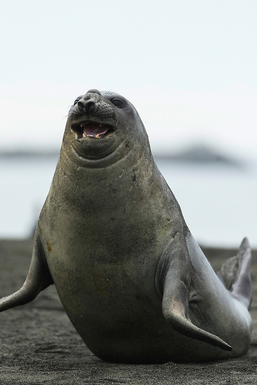 Elephant seal moves on the beach on Friday, Feb. 2, 2018 in St. Andrew's Bay, South Georgia. (Photo by Ric Tapia)