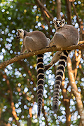 Ring-tailed lemurs (Lemur catta) from Nahampoana Private Reserve, Madagascar