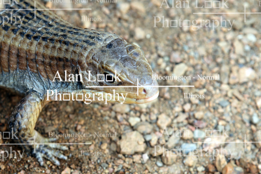 14 May 2013:  Great Plated Lizard. This animal is a captive animal and well cared for by a zoo.