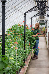 Becky Crowley cutting zinnias in a glasshouse at Chatsworth House