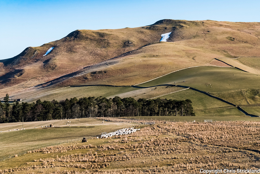Hindhope, Jedburgh, Scottish Borders, UK. 26th March 2018. Hill farmer Tom Elliot gathers South Country Cheviot Ewes on Hindhope Farm near the Anglo Scottish Border for worming prior to lambing next month. Lambing takes place in late spring on the Cheviots in the hope of avoiding any late wintry weather.