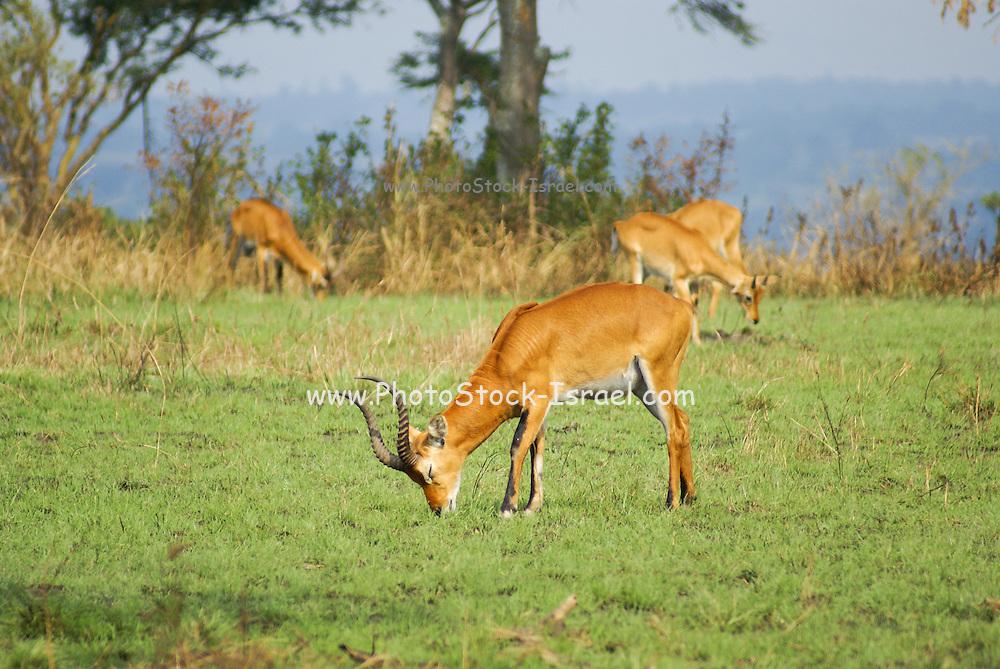 Ugandan kob (Kobus kob thomasi) Photographed at the Queen Elizabeth National Park, Ishasha Sector, Uganda
