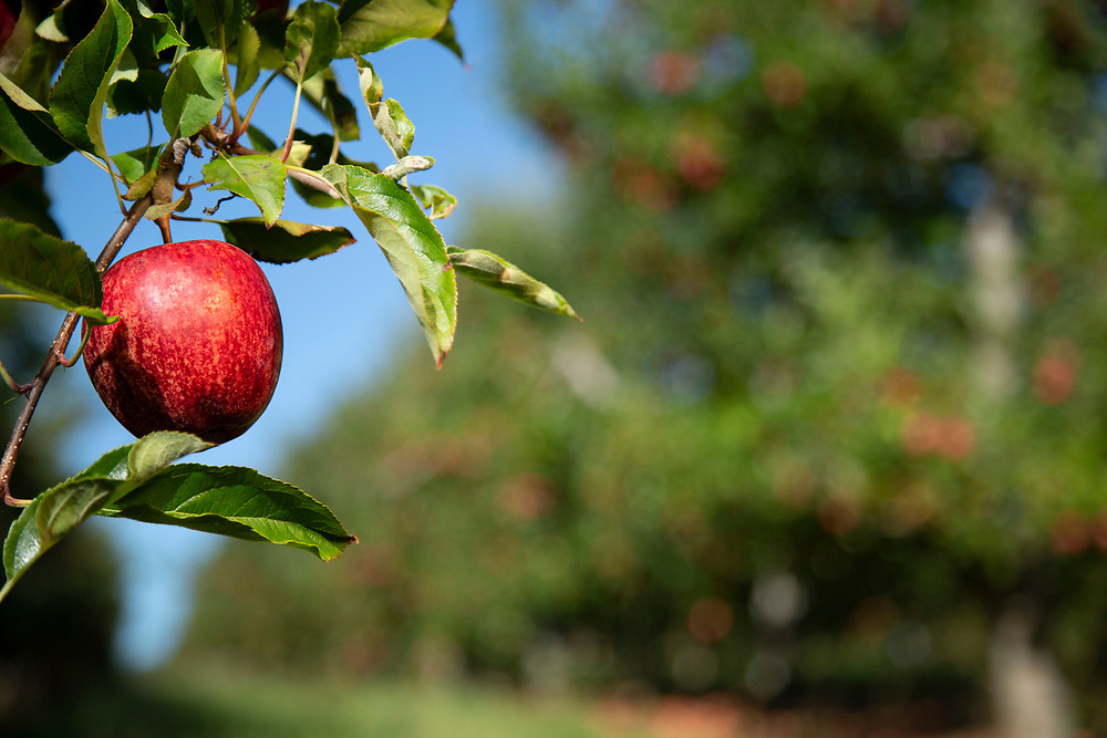 Red apples on a branch looking down a row of apple trees with clear blue sky