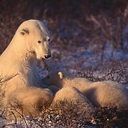 Mother polar bear (Ursus maritimus) nursing cubs in willows at Hudson Bay, Canada.