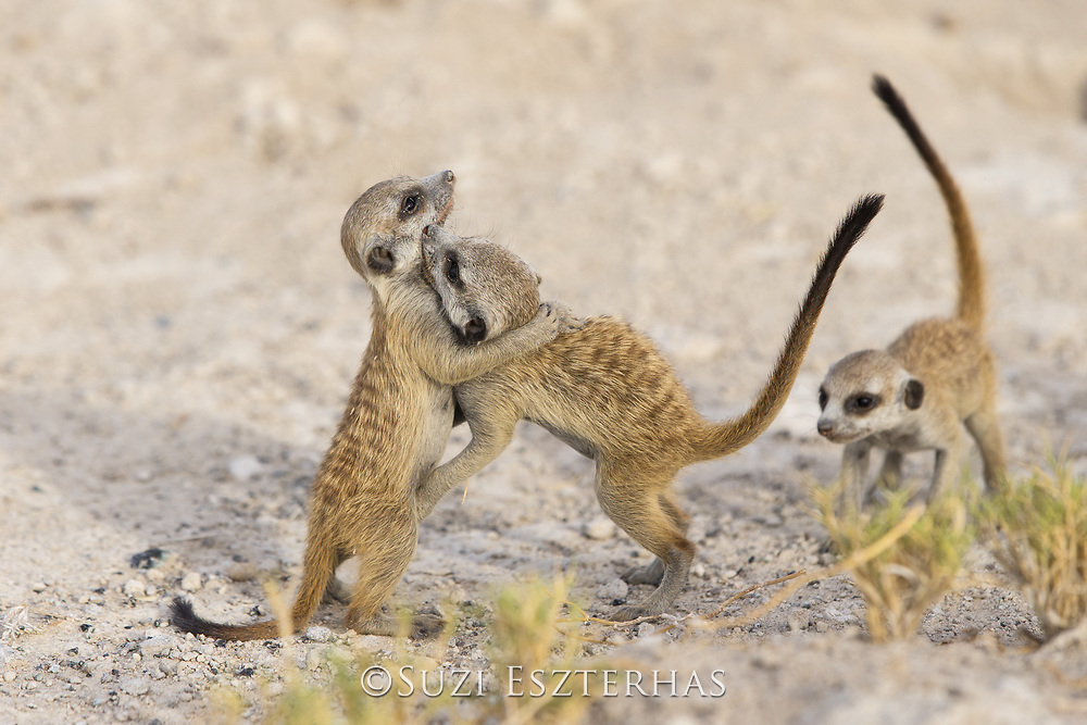 Meerkat<br /> Suricata suricatta<br /> Six-week-old pups playing<br /> Makgadikgadi Pans, Botswana