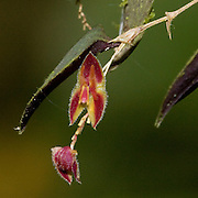 Lepanthes sp. an orchid near the Interoceanic highway in Peru