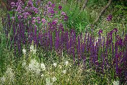 Rivers of Salvia nemorosa 'Caradonna' AGM - Balkan clary. Breaking Ground Garden, RHS Chelsea Flower Show 2017