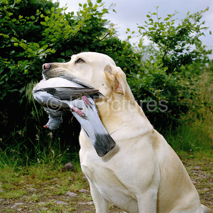 Gamekeeper Ronnie Grigor's dog with a wood pigeon in his mouth on Fala Estate in Scotland. Fala estate supplies game such as roe deer (venison), hares, rabbits and wood pigeons to local restaurants.
