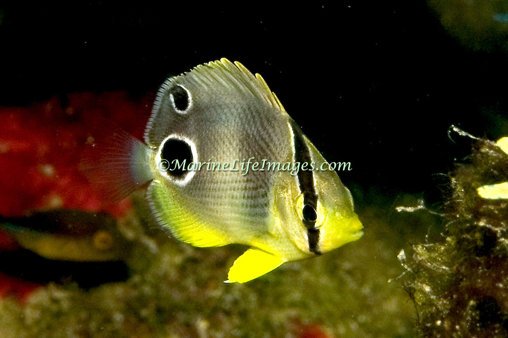 Foureye Butterflyfish flit about reef tops, often in pairs in Tropical West Atlantic; picture taken Grand Cayman.