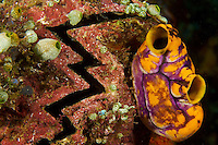 A zigzag oyster encrusted with tunicates.
