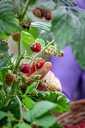 Harvesting raspberries into a basket - Rubus idaeus