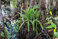 With the confusing name of Boston fern, this truly global sword fern is native to the tropics around most of the equator in the Americas, Africa and Polynesia. In North America, it can be natively inmost of Mexico and the Caribbean, Florida, Texas, Louisiana and even Arizona. This very healthy specimen was growing just at the top of the flood line on the side of a bald cypress tree in Southwest Florida's Corkscrew Swamp.