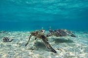 juvenile green sea turtles, Chelonia mydas ( Threatened Species ) with moorish idols in background, Kahalu'u Beach Park, Kahaluu Beach, Keauhou, Kona, Hawaii Island ( the Big Island ), Hawaii, USA ( Central Pacific Ocean )