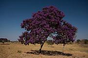 Varzea da Palma_MG, Brasil...Arvore florida em Varzea da Palma, Minas Gerais...Flowering tree in Varzea da Palma, Minas Gerais...Foto: LEO DRUMOND / NITRO