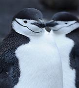 Chinstrap Penguins (Pygoscelis antarctica) Saunders Island, South Sandwich Islands. South Atlantic Ocean. 25Feb16
